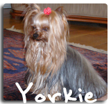 http://morkiesandmore.com/index.php/2011-12-09-19-59-44/yorkies