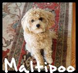 http://morkiesandmore.com/index.php/2011-12-09-19-59-44/malti-poos