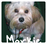 http://morkiesandmore.com/index.php/2011-12-09-19-59-44/morkies